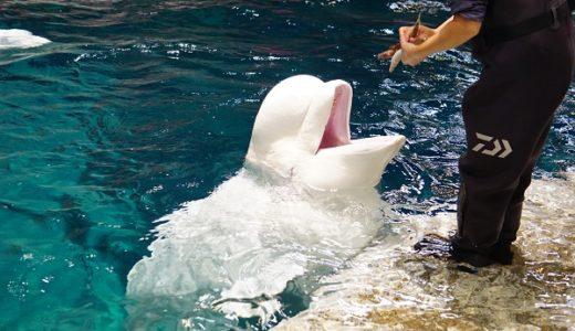 名古屋港水族館 ベルーガ(シロイルカ)の笑顔に癒される♪